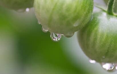 雨に濡れたトマト