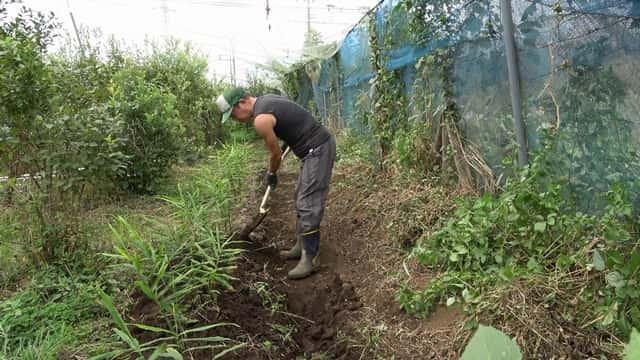 生姜畑の作業風景