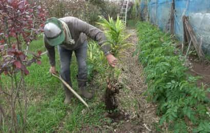 生姜の収穫