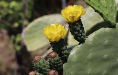オプンチアの花