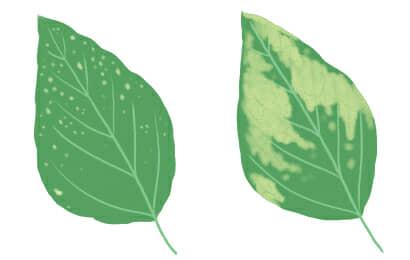 べと病におかされたエダマメの茎葉