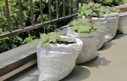 土のう袋でのサツマイモ栽培