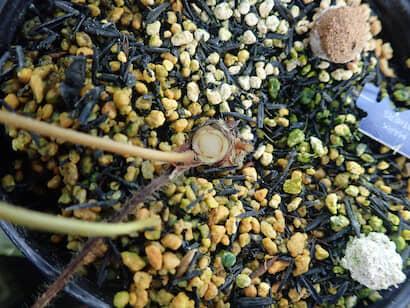 維管束が萎黄病によって褐色に変色したイチゴ