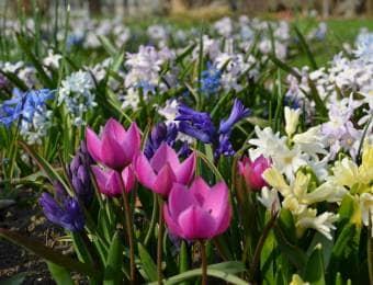 色とりどりの球根花