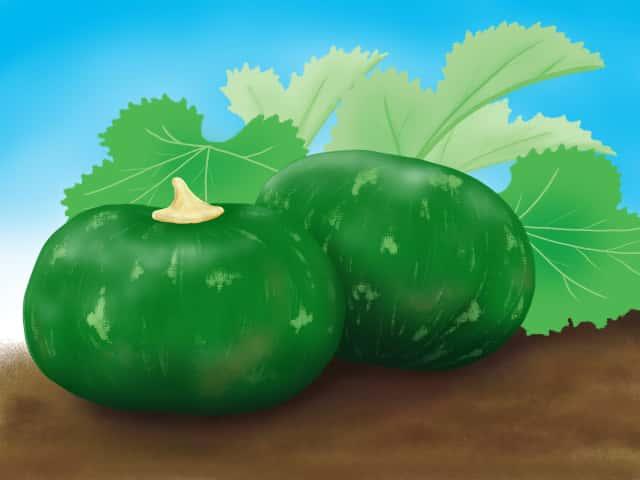 カボチャ栽培のイラスト