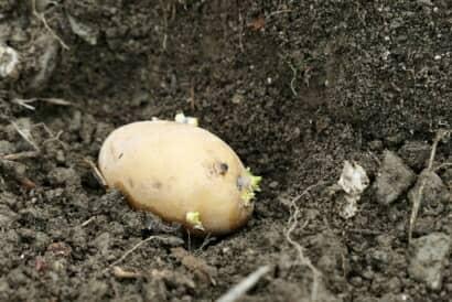 種芋の植え付け