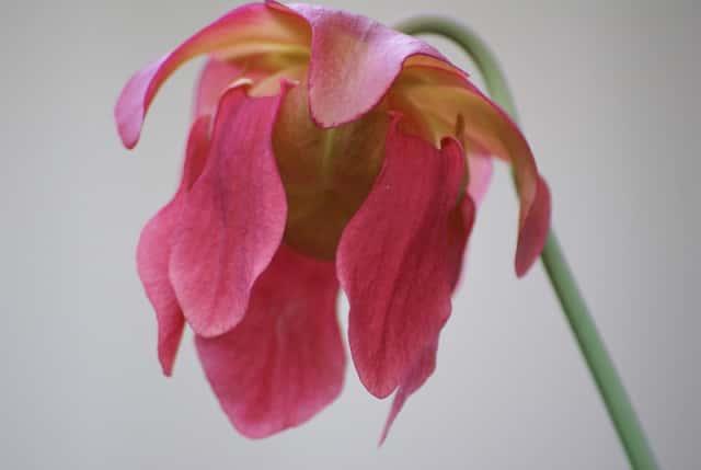 サラセニアの花