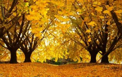 落葉樹 イチョウ