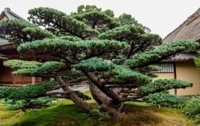 常緑樹 マツ