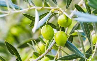 実をつける樹種 オリーブ