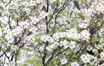 花をつける樹種 ハナミズキ