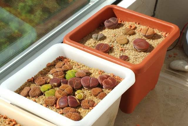 窓辺に置かれたリトープスの鉢