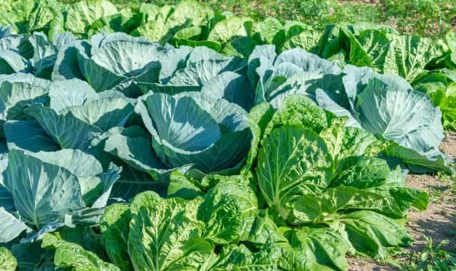 対象作物が拡大!白菜、キャベツなど