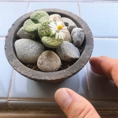 花の咲いた黄微紋玉