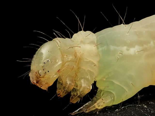 イラクサギンウワバの幼虫