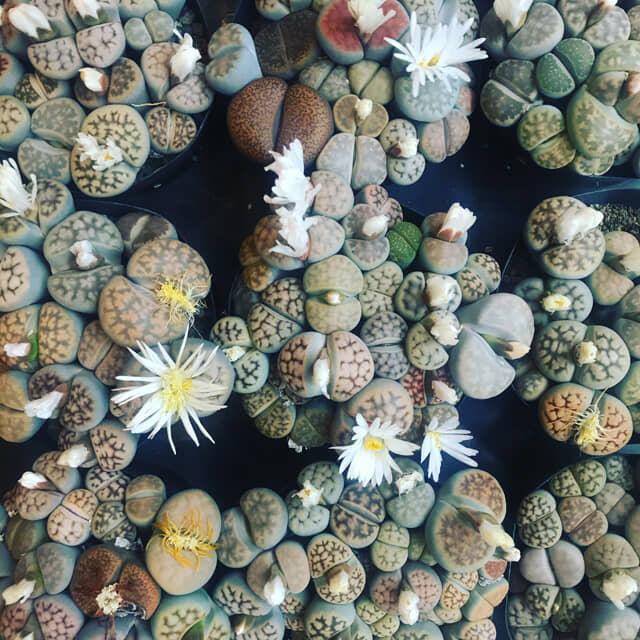 リトープスの花