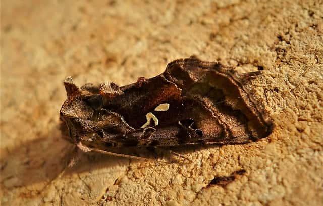 タマナギンウワバの成虫