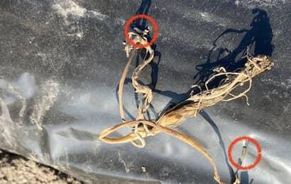 タマネギの幼苗を食害する黒マルチの上のタマネギバエ