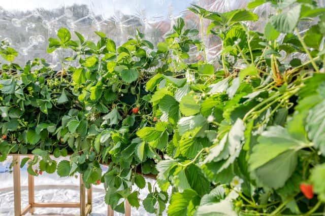 いちごの生産効率を上げる方法