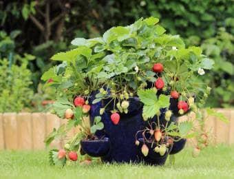 鉢になるイチゴ