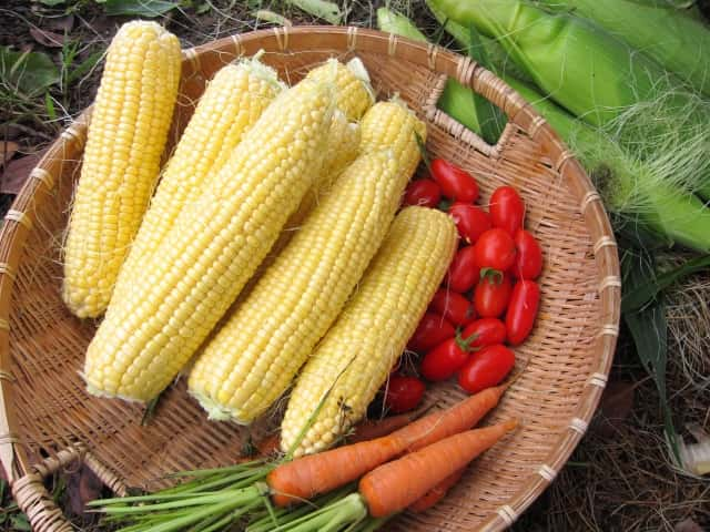 収穫したトウモロコシ、にんじん、トマト
