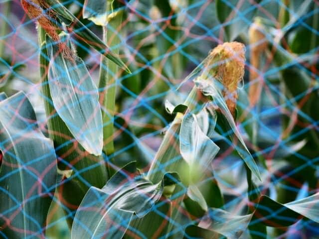 トウモロコシ栽培中のネット