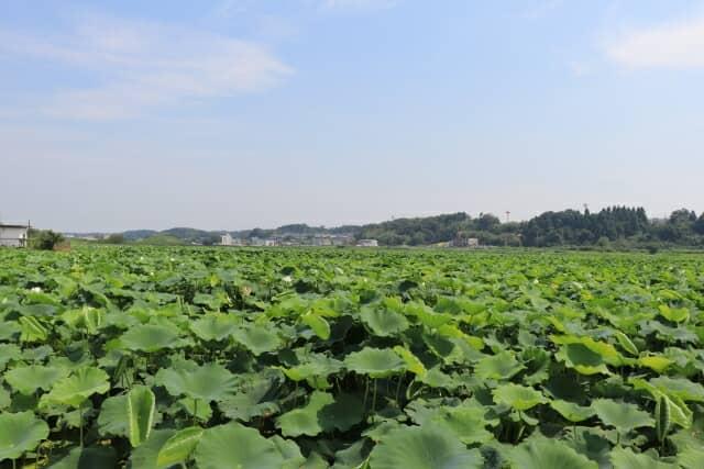 茨城県のハス田