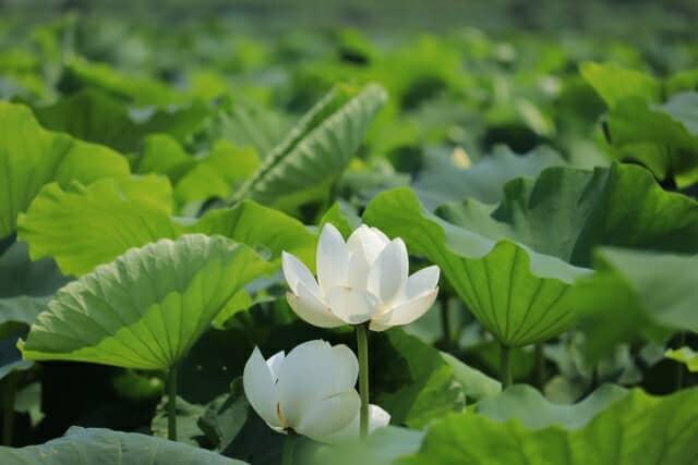 白い花が咲くハス田
