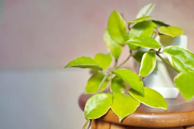 ホヤの鉢植え
