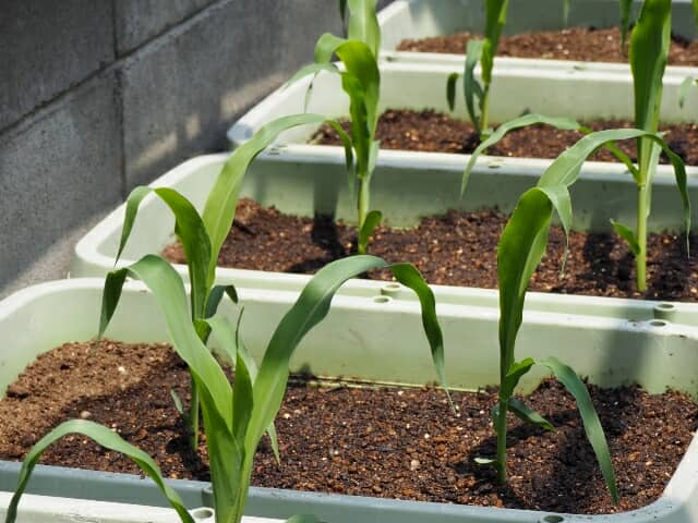 トウモロコシのプランター栽培