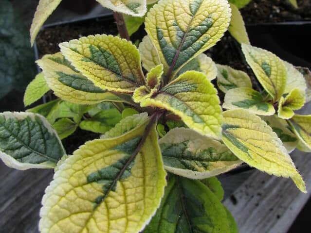 プレクトランサス 観葉植物