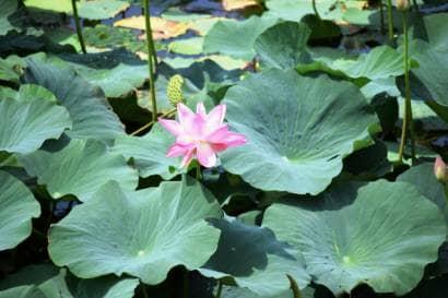 ハスの花が咲いたハス田