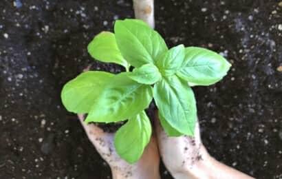 バジルの苗の植え付け