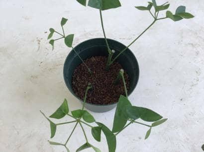 シェフレラの挿し木