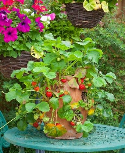 ストロベリーポットで育つイチゴ