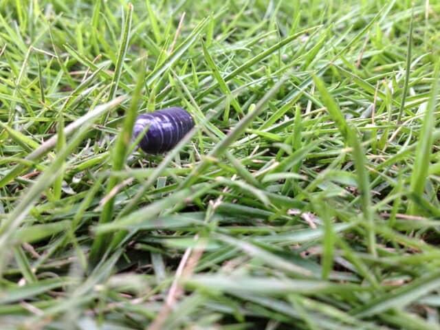 草の上のダンゴムシ
