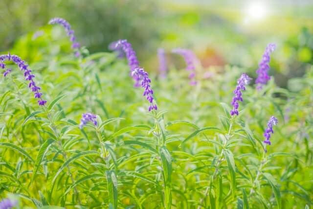 アメジストセージの花
