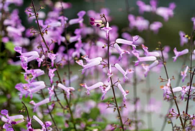 プレクトランサスの花