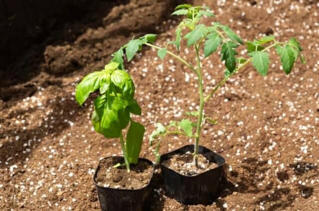 トマトの苗とバジルの苗