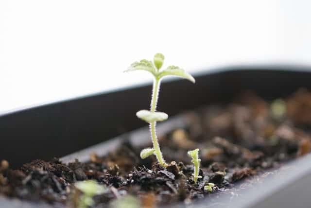 プランターで栽培中のミント