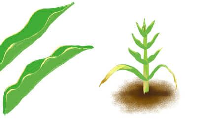 すじ萎縮病におかされたトウモロコシの茎葉