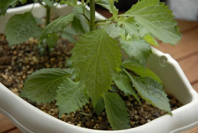 大葉のプランター栽培