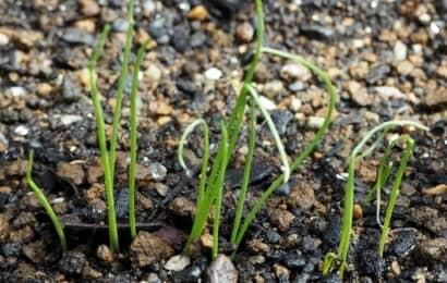 葉ネギの発芽