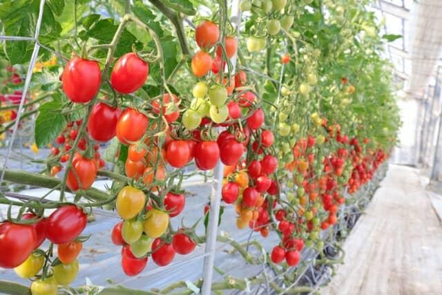 実をつけたトマト