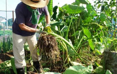 サトイモの収穫