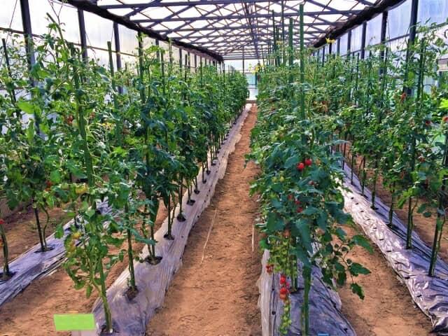 トマトのビニールハウス