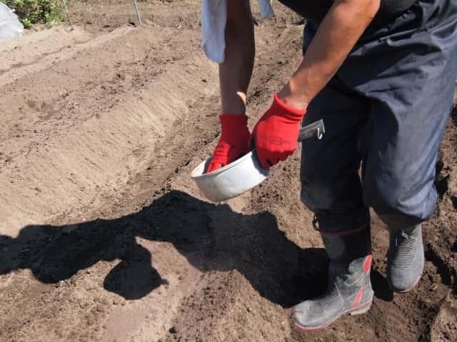 畑で肥料をまく