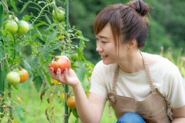 トマト栽培をする女性