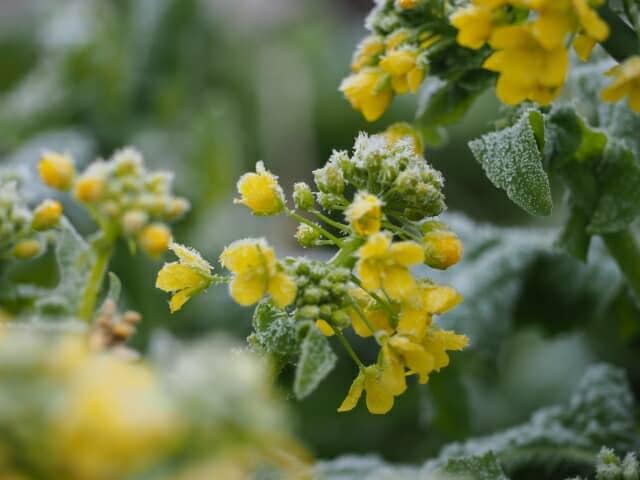 霜のついた菜の花