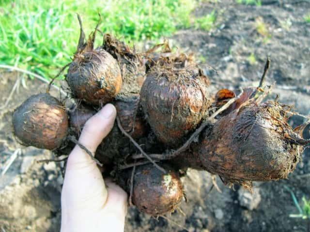収穫したサトイモをもつ手